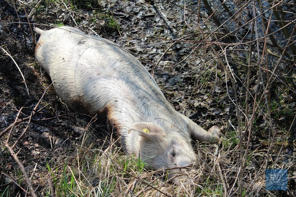 Мертвих свиней викинули на узбіччі