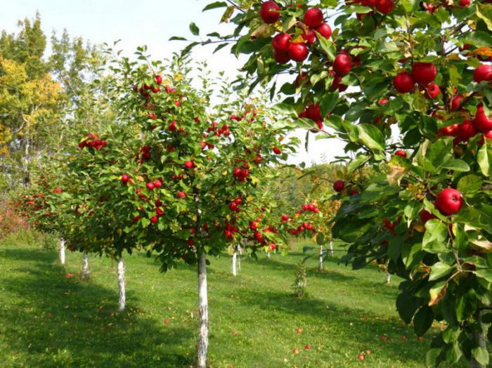 """Як в Городниці колгоспний сад став """"яблуком розбрату"""""""