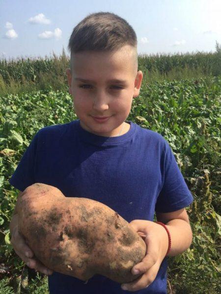 Щасливці викопали величезну картоплину (Фото)