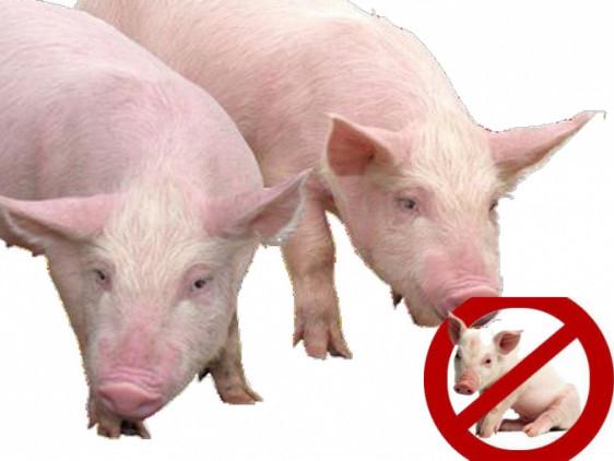 На Шумщину дійшла африканська чума свиней