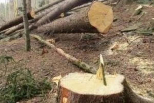 В заповіднику на Лановеччині вирубали ліс на 700 000 гривень