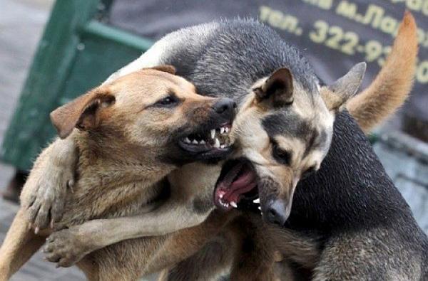 У Збаражі зграя собак тероризує людей