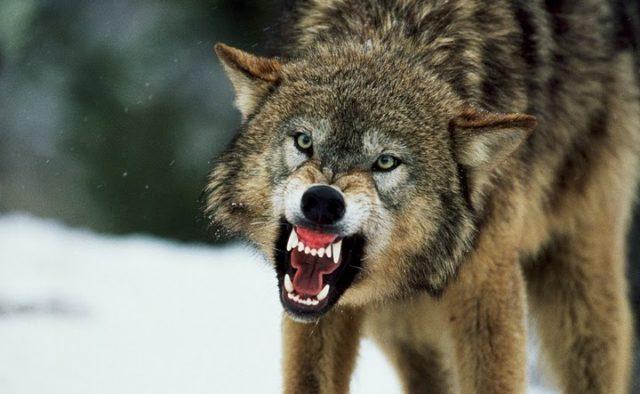 В Козівському районі вовк ледь не загриз чоловіка