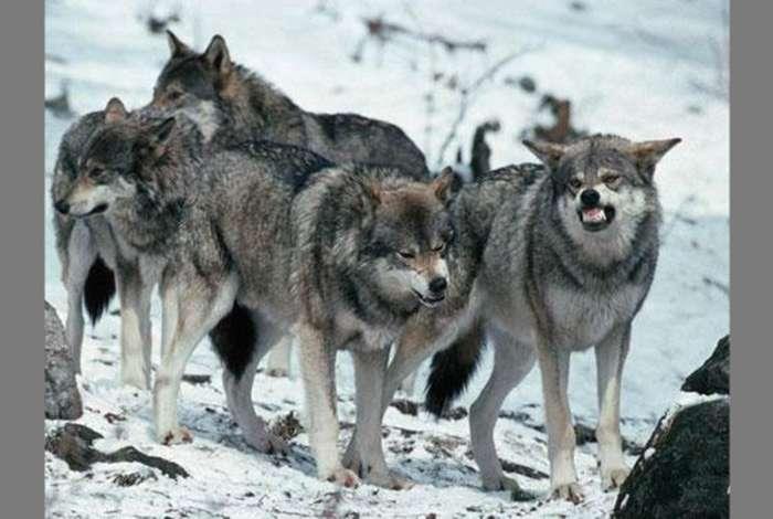 На Тернопільщині водяться зграї агресивних вовків