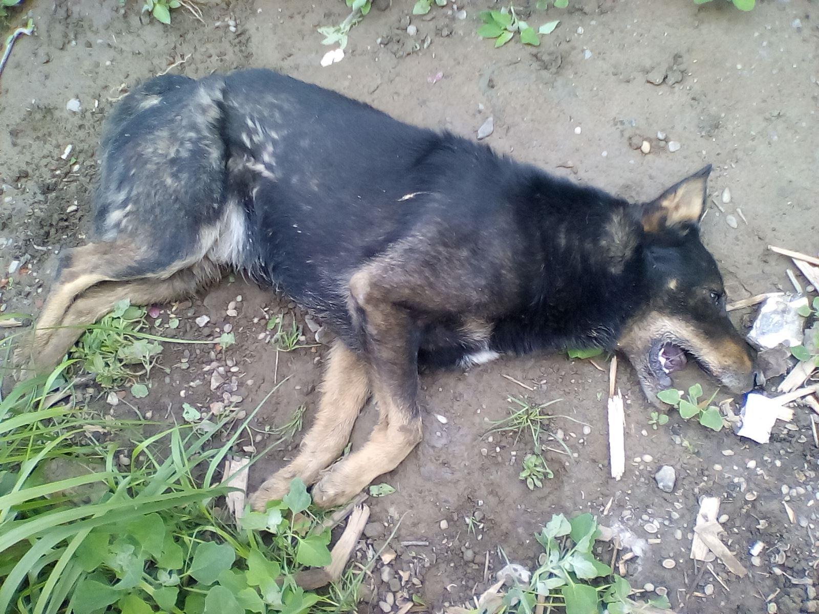 У Заліщиках на вулиці у конвульсіях вмирали безпритульні собаки (Відео, 18+)