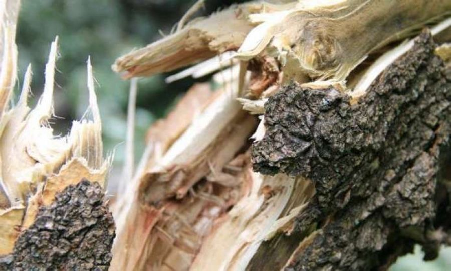 Через падіння дерева загинув тракторист