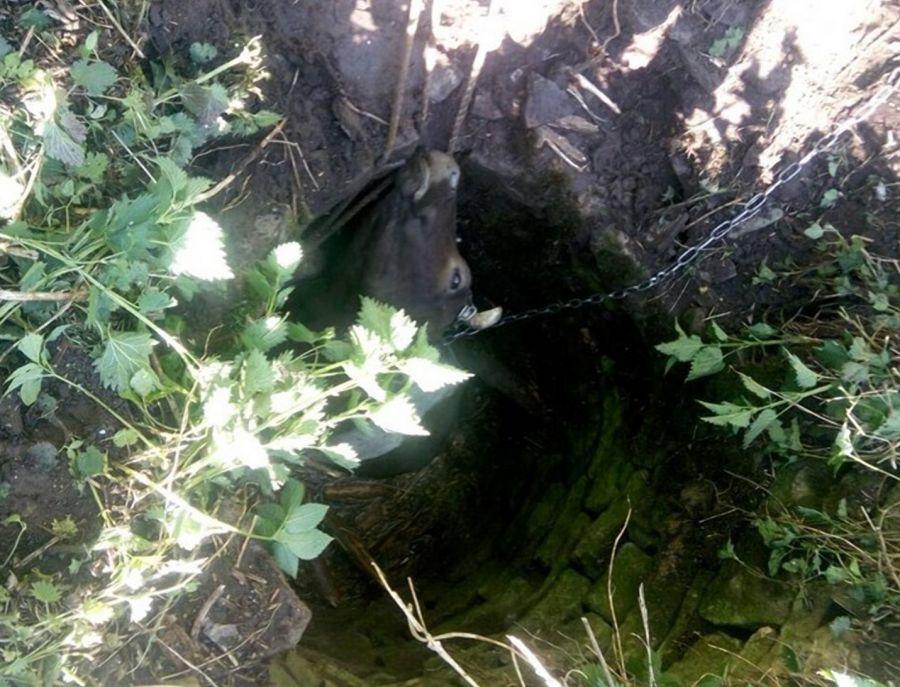 На Тернопільщині з 3-х метрового колодязя діставали корову
