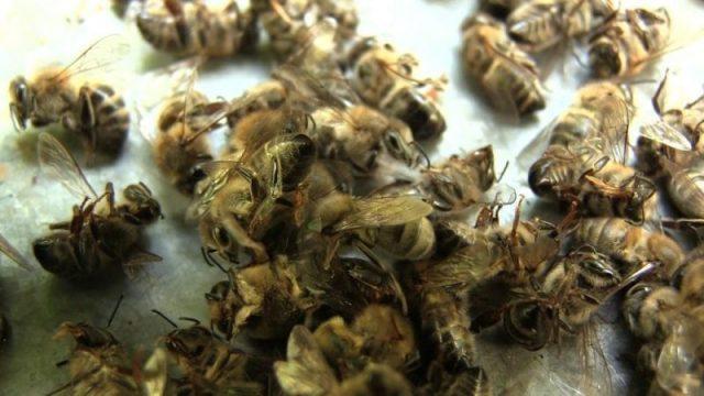 У Шумському районі фермери знову потруїли бджіл