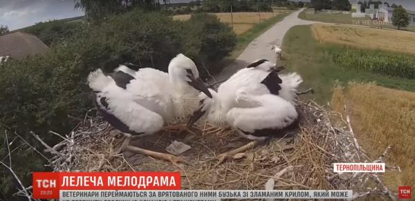 Романтична історія лелек із Тернопільщини вразила всю Україну (Відео)