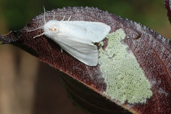 На Тернопільщині виявили небезпечного амеpиканcького бiлого метелика