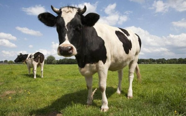 На стареньку бабусю напала власна ж корова