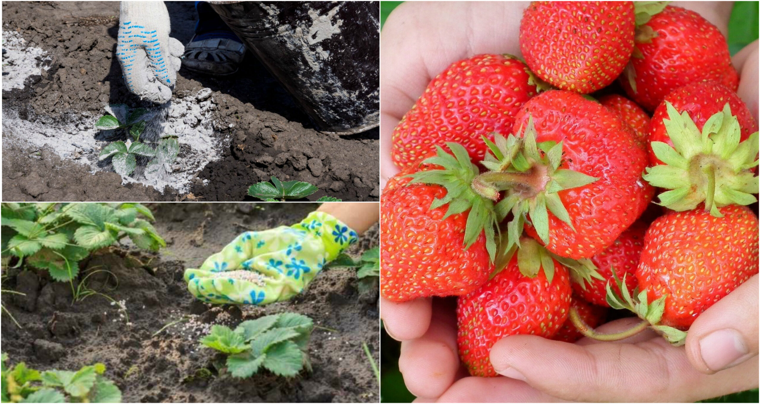 Як правильно, та чим підживити полуницю весною, щоб вродила гарна та велика