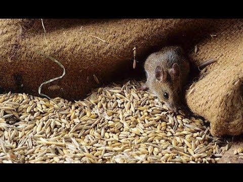 За інформацією радника міністра МВС у Чорткові «миші з'їли» 150 вагонів зерна